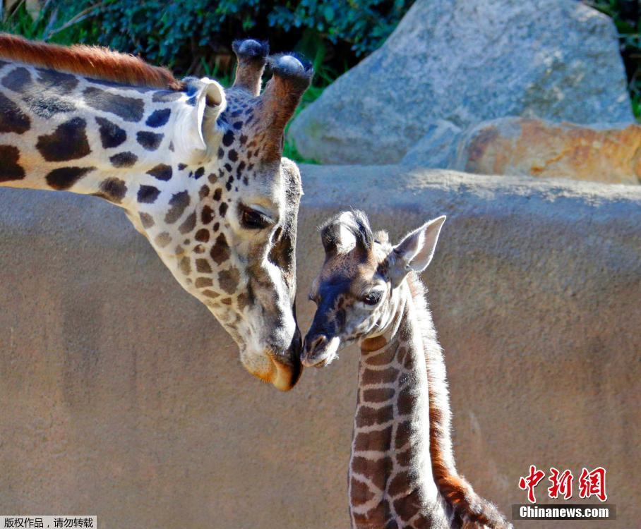 洛杉矶动物园新添小长颈鹿
