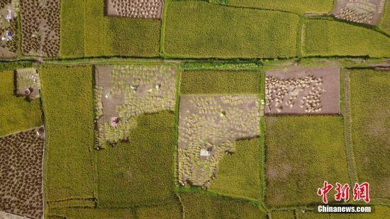 云南水稻成熟 描绘丰收画卷