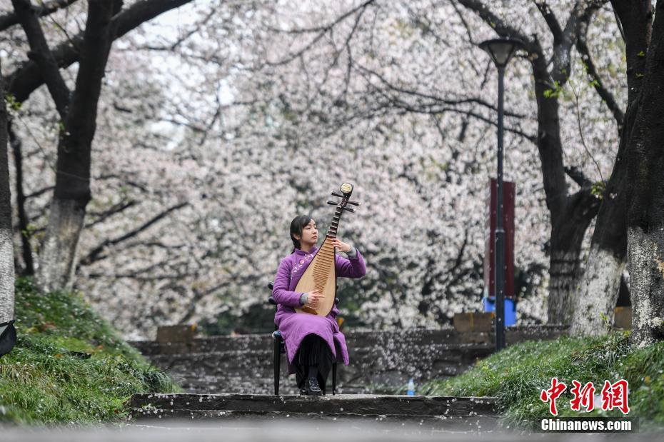 <p>演奏者坐在樱花树下弹奏琵琶。 杨华峰 摄</p>