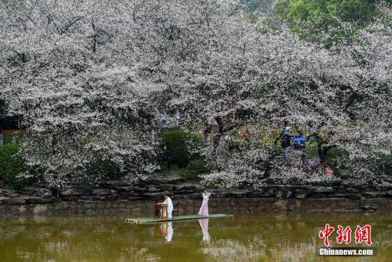 表演者樱花树下演绎传统古典乐