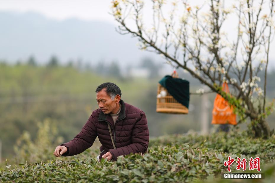 <p>贵州省丹寨县兴仁镇石槲茶园内,一名茶农一边逗着他的画眉鸟一边采摘春茶。 中新社记者 贺俊怡 摄</p>