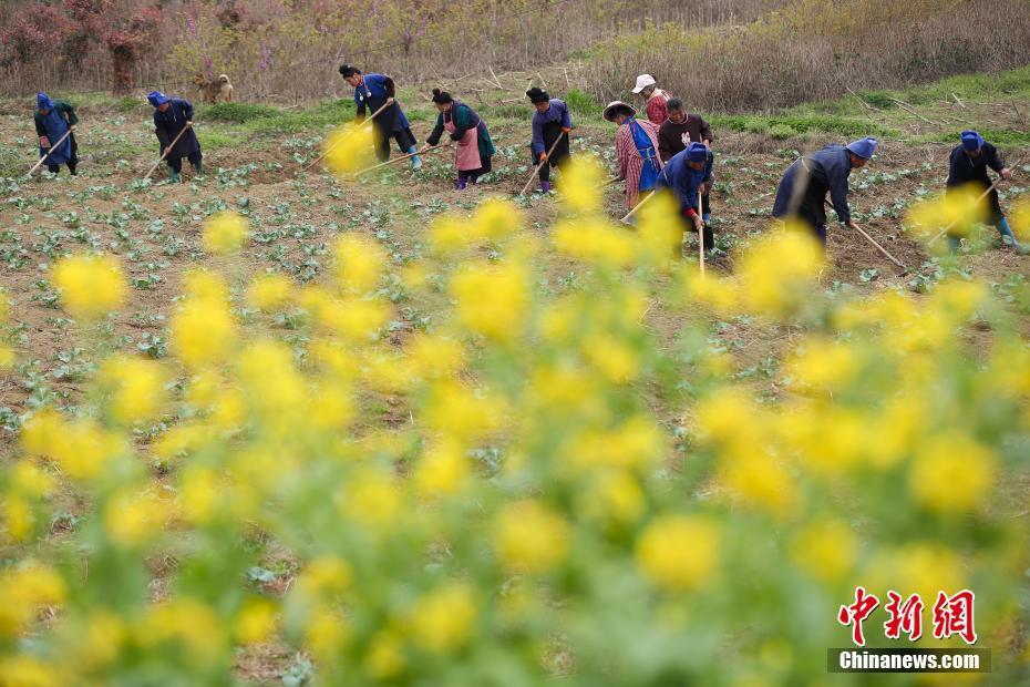 <p>贵州省丹寨县龙泉镇马寨村蔬菜基地,农民在田间劳作。 中新社记者 贺俊怡 摄</p>