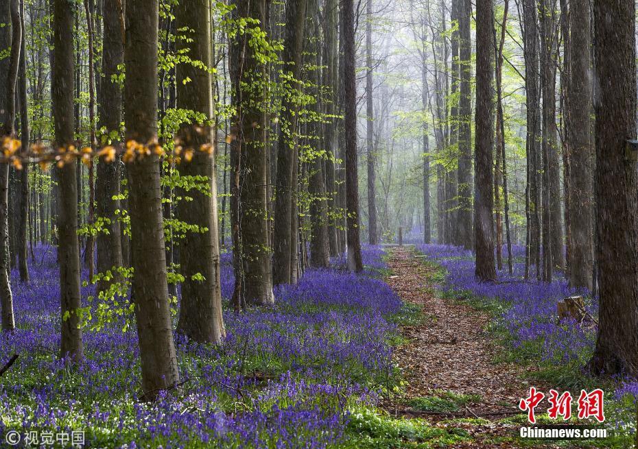 """<p>3月21日是世界林业节。1971年第七届世界林业大会决定将每年的3月21日定为世界林业节,以引起各国对人类的绿色保护神——森林资源的重视。 让我们遍赏世界各地森林美景,感受大自然不动声色的力量。图为当地时间2016年4月17日,比利时哈勒市附近的""""蓝森林""""中,野生蓝铃花盛开,整个森林变成一片蓝色,像铺上了地毯。图片来源:视觉中国</p>"""