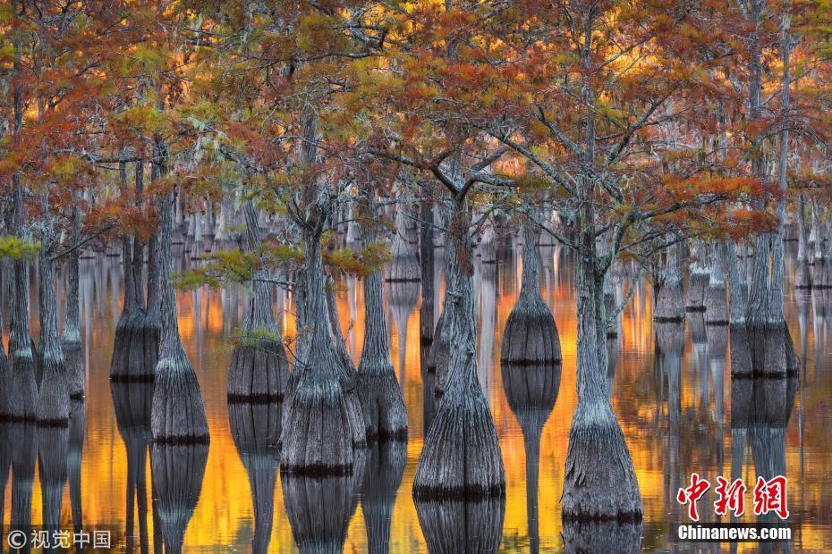 <p>10月25日讯(具体拍摄时间不详),美国乔治亚洲Okefenokee,业余摄影师Chris Moore在当地的沼泽地带捕捉到这组美丽的景象。这些色彩斑斓的图片看起来像是世界上最伟大的油画家的杰作,但实际上是在湖面涟漪上反射的树木的倒影。摄影师在水面拍摄的照片,仿佛莫奈(Monet)、梵高(Van Gogh)和透纳(Turner)等艺术家的作品,金色、红色和绿色的叶子倒映在水面,由于涟漪而模糊,如同杰出的油画作品一般。图片来源:视觉中国</p>