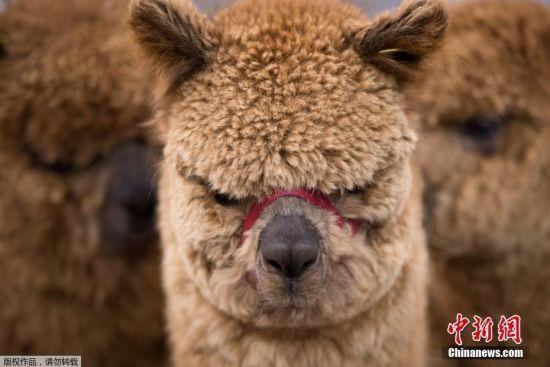 """英国羊驼协会举办展览 各地""""萌驼""""一比高下"""