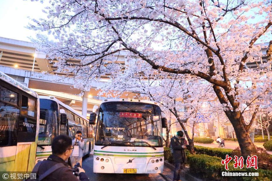 <p>2018年3月25日,上海最美网红公交车站樱花烂漫,引来市民扎堆拍摄。每到阳春三月樱花烂漫的季节,上海南浦大桥下的浦西公交枢纽一片盛开的樱花。花瓣从空中飘落景色特别优美,这给热闹的公交站,带来一丝静谧之美。 图片来源:视觉中国</p>