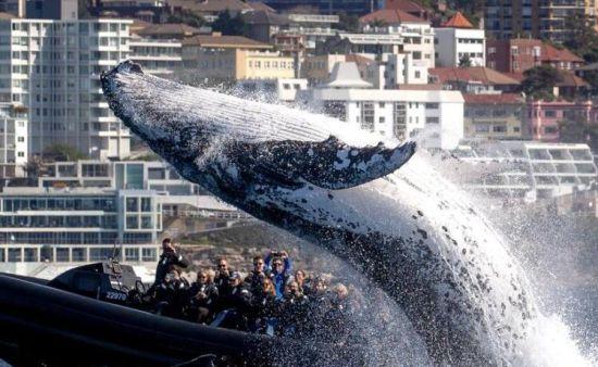 澳大利亚座头鲸爱表演 出水炫技惊呆一船游客