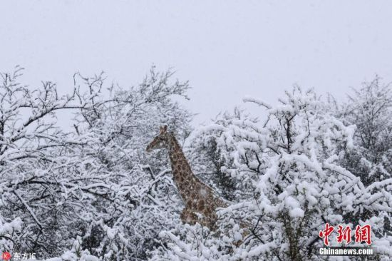 南非下雪!长颈鹿大象雪中漫步如童话