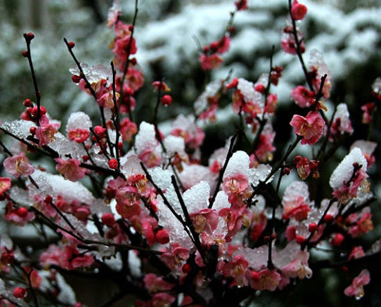 黑龙潭的傲雪寒梅