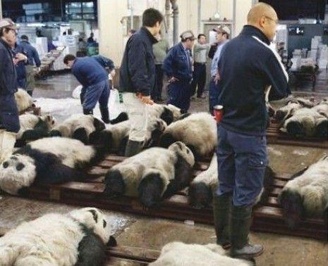 死亡?y?#_根据历史的资料统计显示,大熊猫野外面临的死亡威胁主要为天敌危害