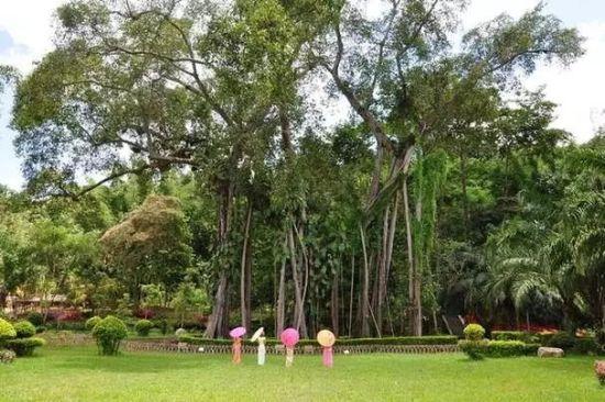 西双版纳打洛独树成林景区 图片来源网络