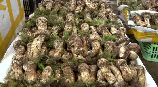松茸350元/公斤、松露250元/公斤……云南野生菌时价在这里!