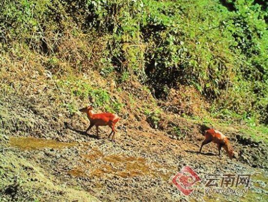 保护区人工栖息地硝塘安装的红外相机,自动拍摄下了一群群亚洲象,麂子